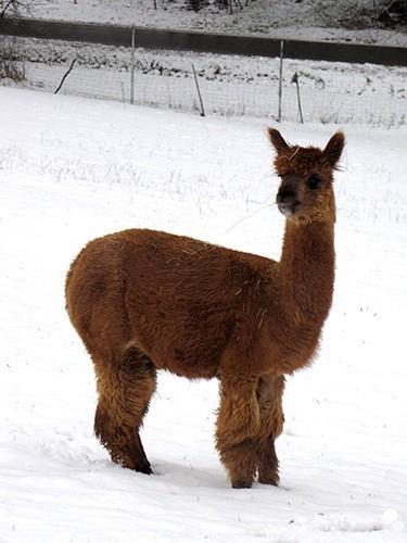 Alpakas im Winter